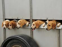 Hounds & Beagles