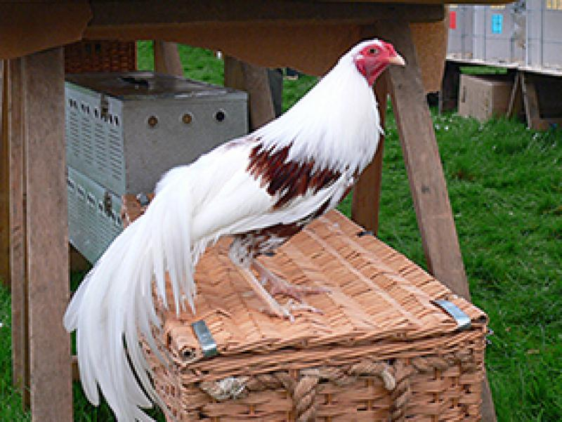 Poultry Exhibits